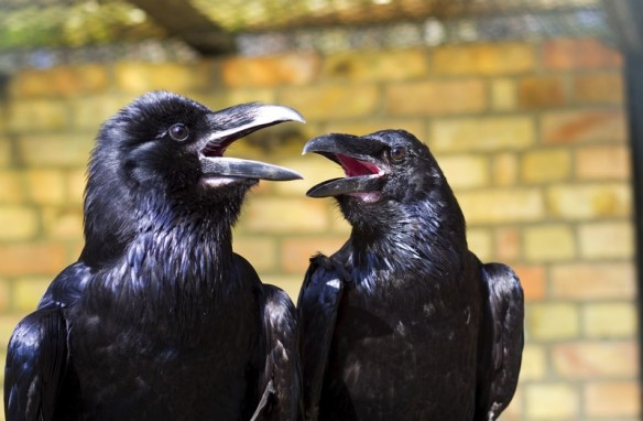 gossiping crows.jpeg